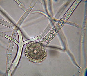 Sporangium von Rhizopus spp.